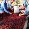 hand sorting cherries